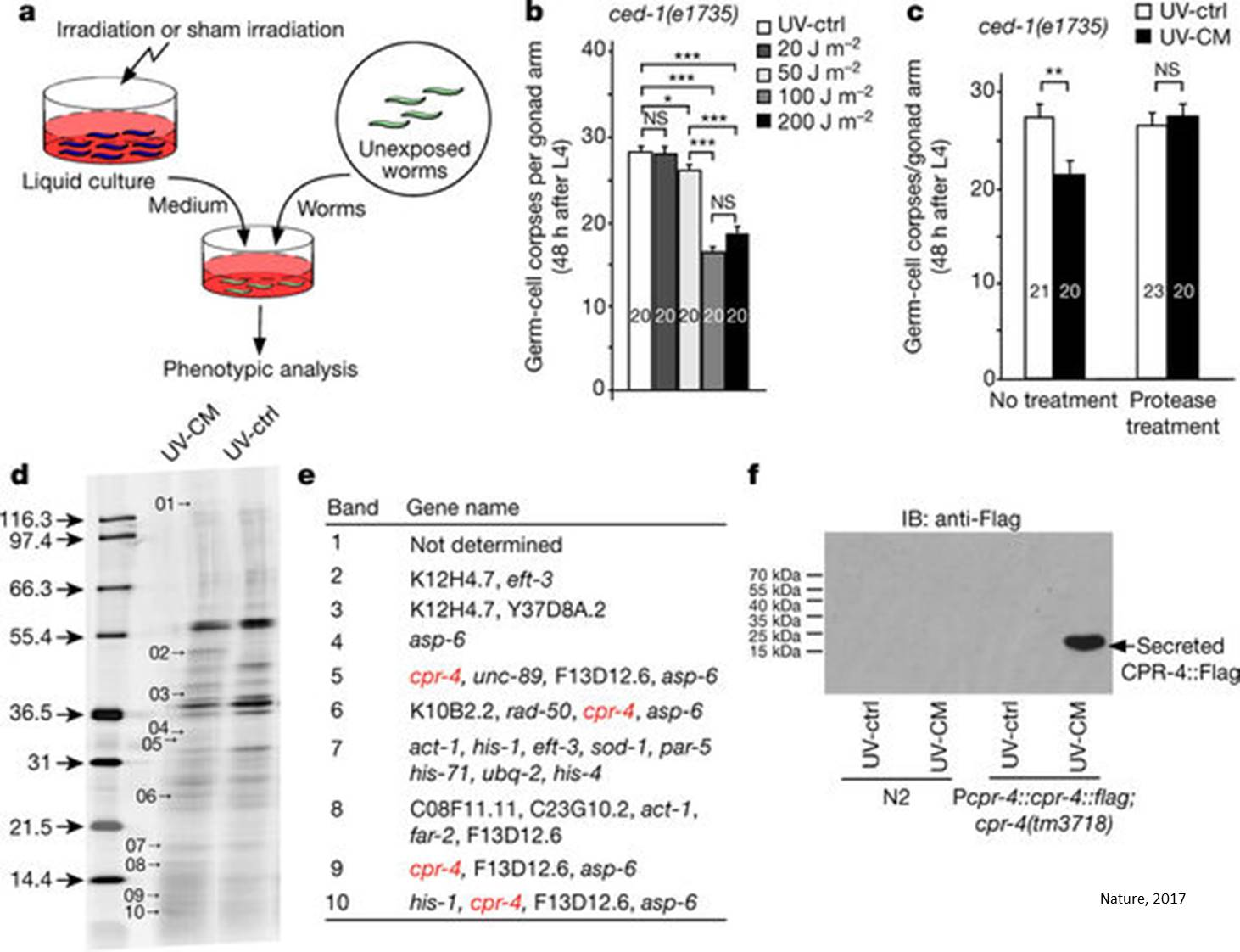 A cysteine protease mediates radiation-induced bystander effects!