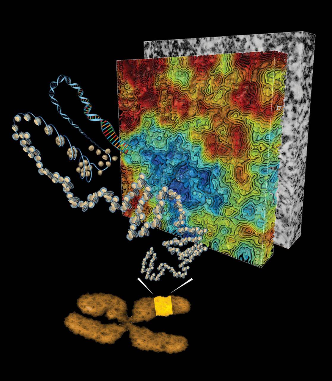 DNA folding model overturned by a 3D image study!