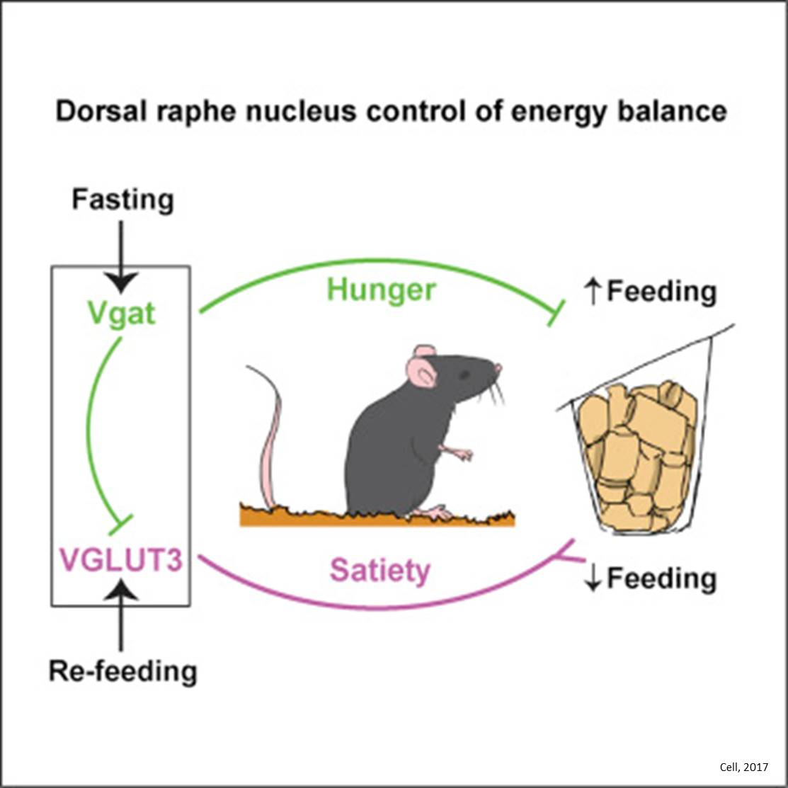 New brain region implicated in appetite regulation