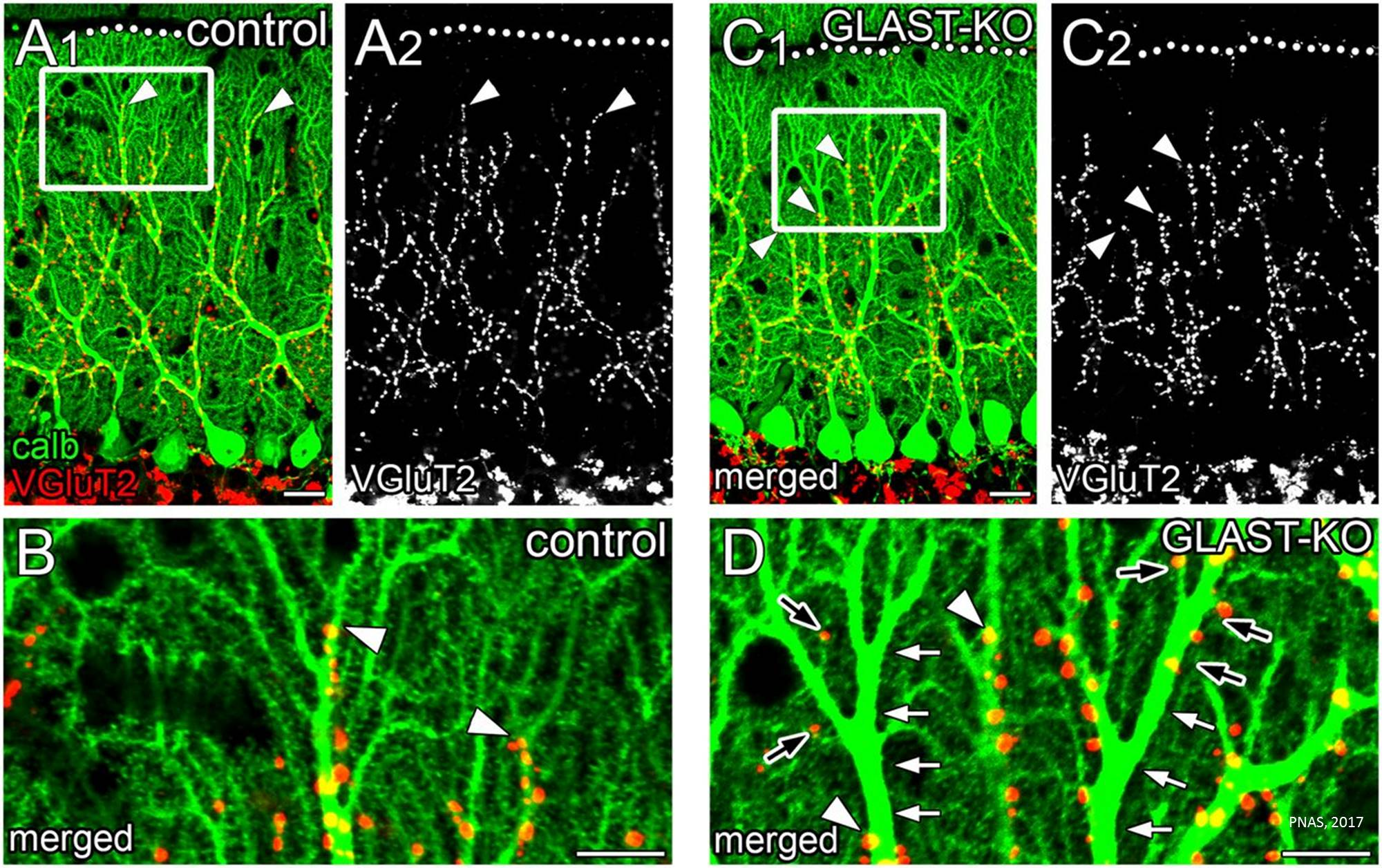 Glial protein for proper neural wiring in the cerebellum