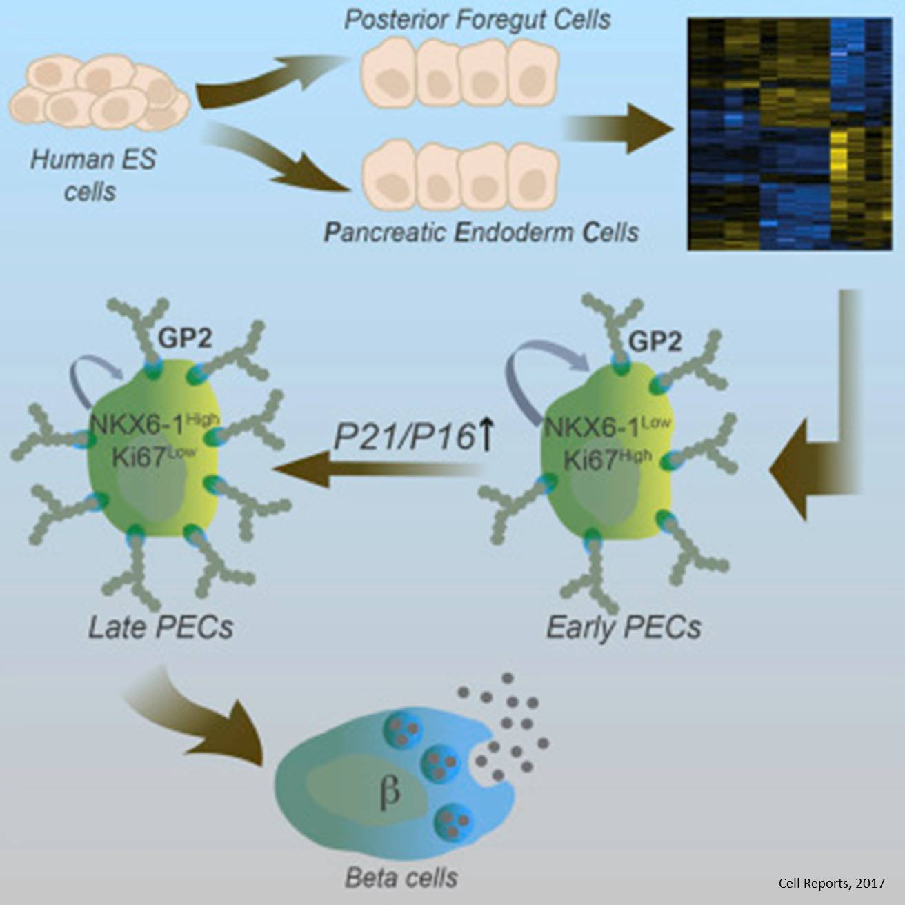 Efficient generation of pancreatic beta cells from human embryonic stem cells
