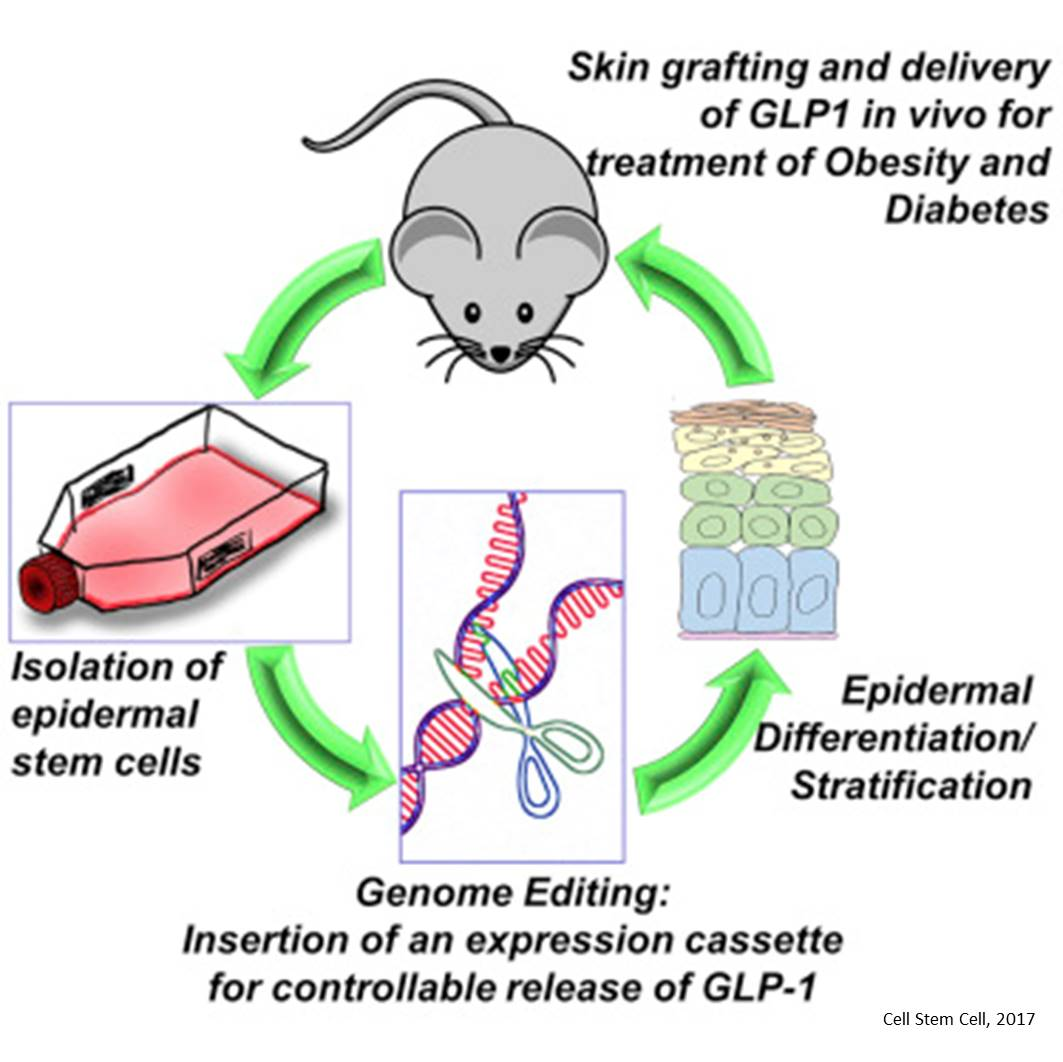 Skin transplants to treat diabetes and obesity!