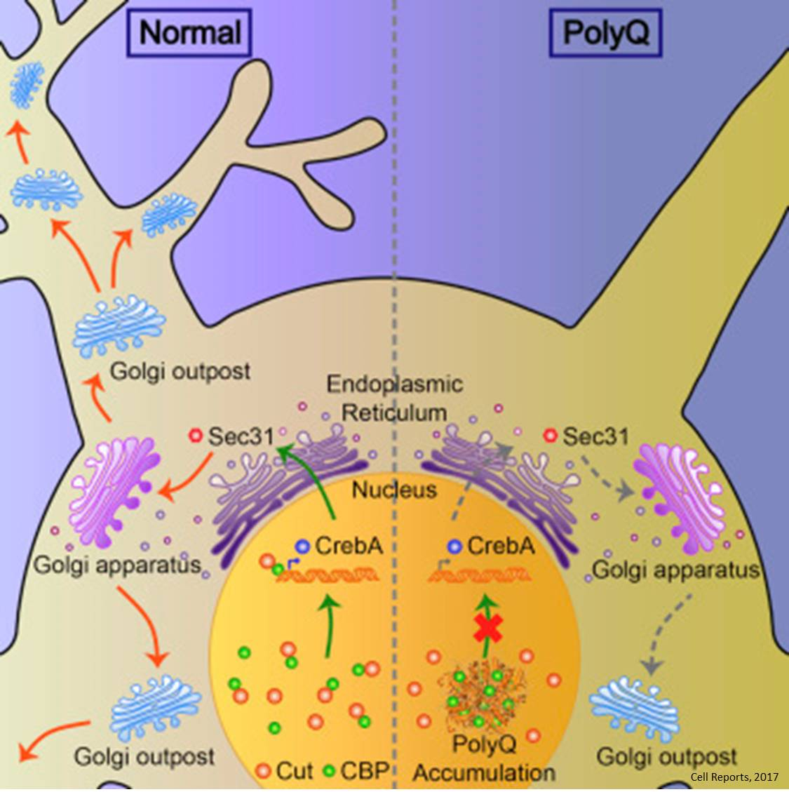 Dendritic Golgi as key cause of degenerative brain disease