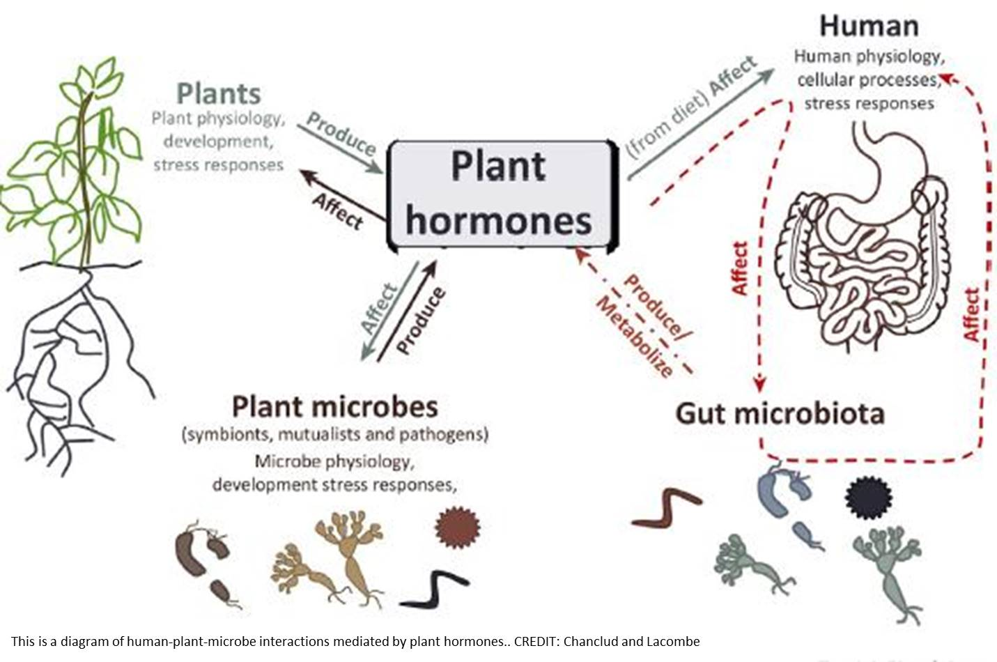 How humans and their gut microbes may respond to plant hormones