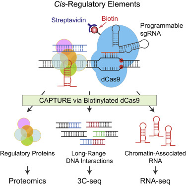 An innovative system to characterize regulatory DNA sequences responsible for human diseases