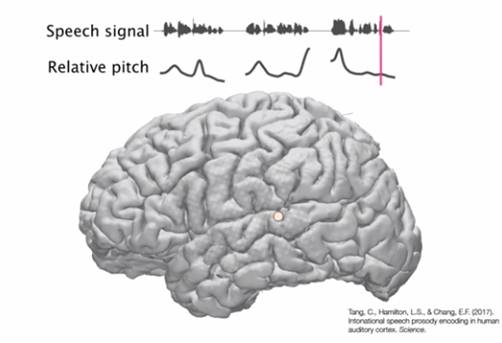 Neurons identify pitch changes in spoken language
