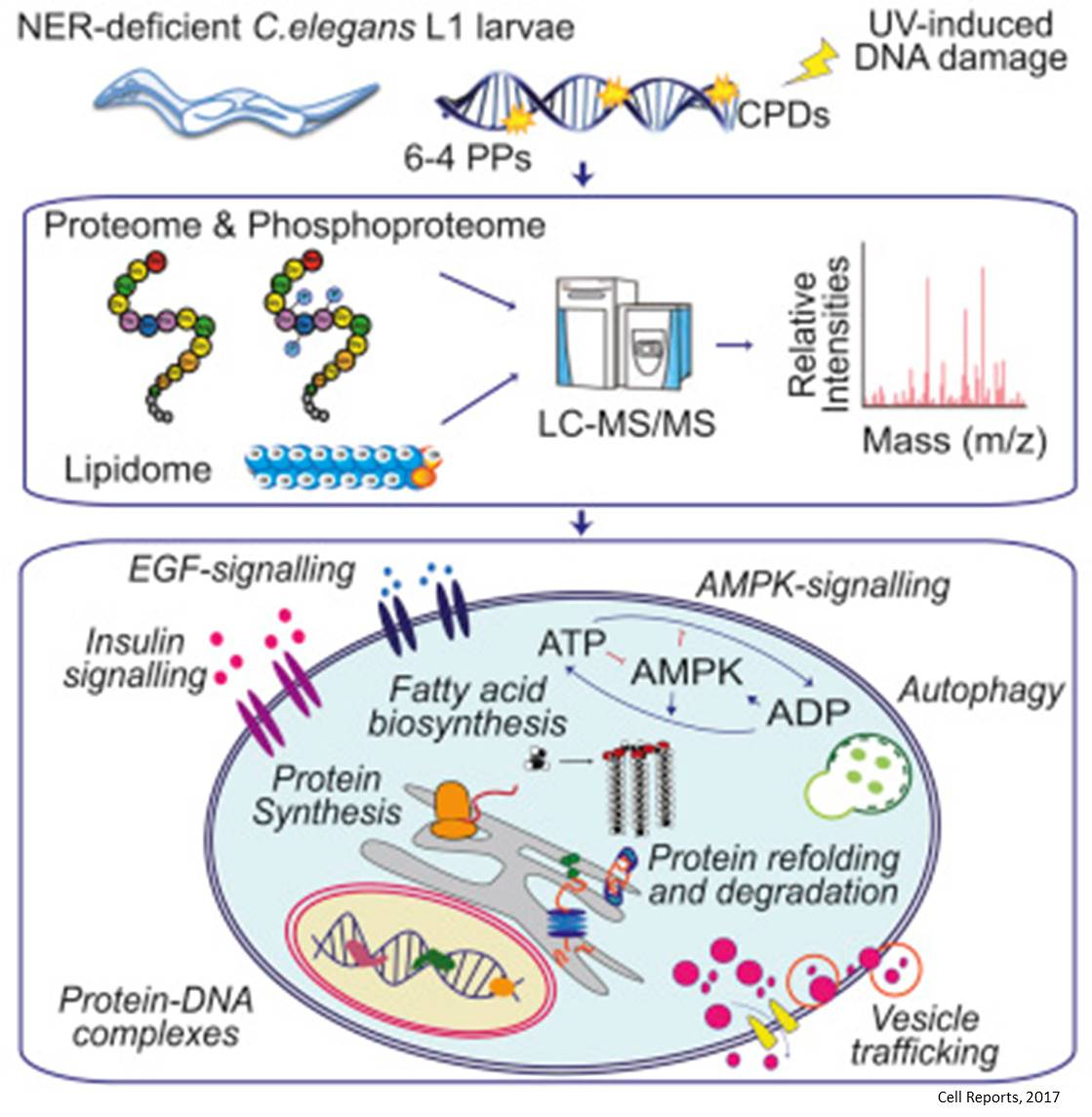 Cellular reprogramming in DNA damage mediated aging