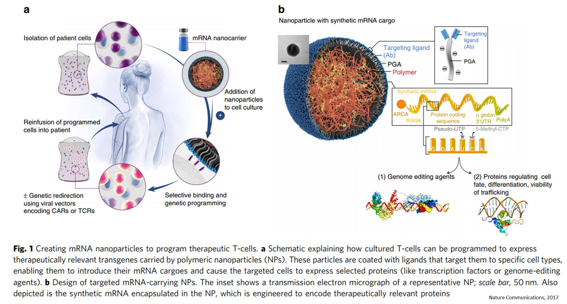 Delivering mRNA directly to the cells using nanoparticles