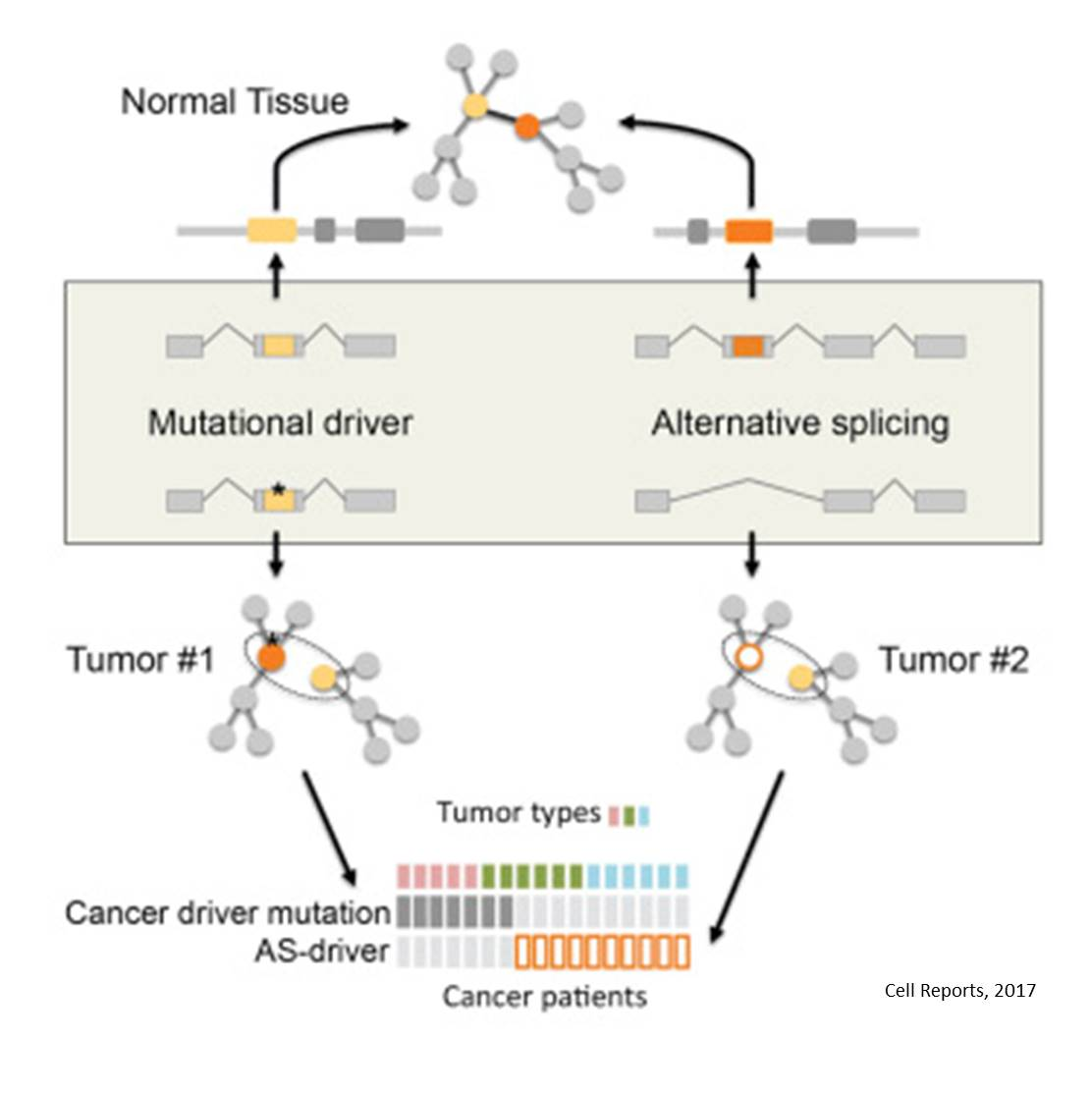 Can alternative splicing lead to cancer?