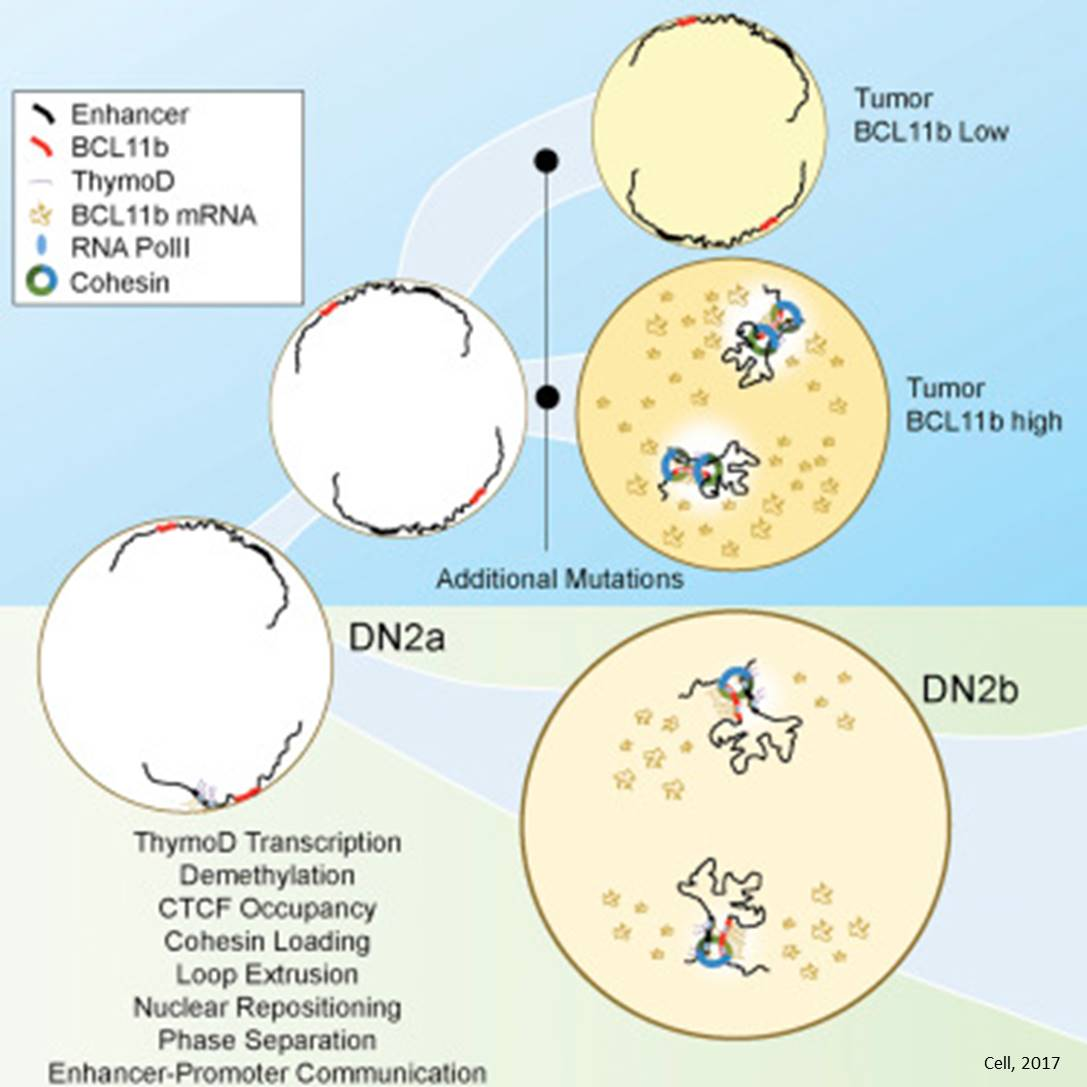 Role of non-coding RNA in immune system development