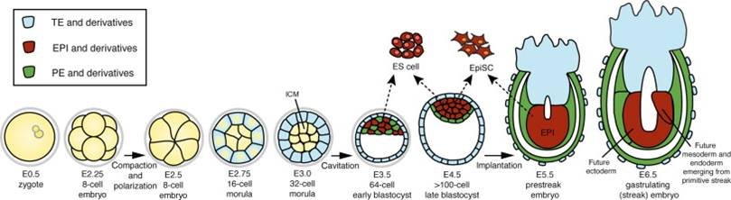 Insulin maintains pluripotency of embryonic stem cells