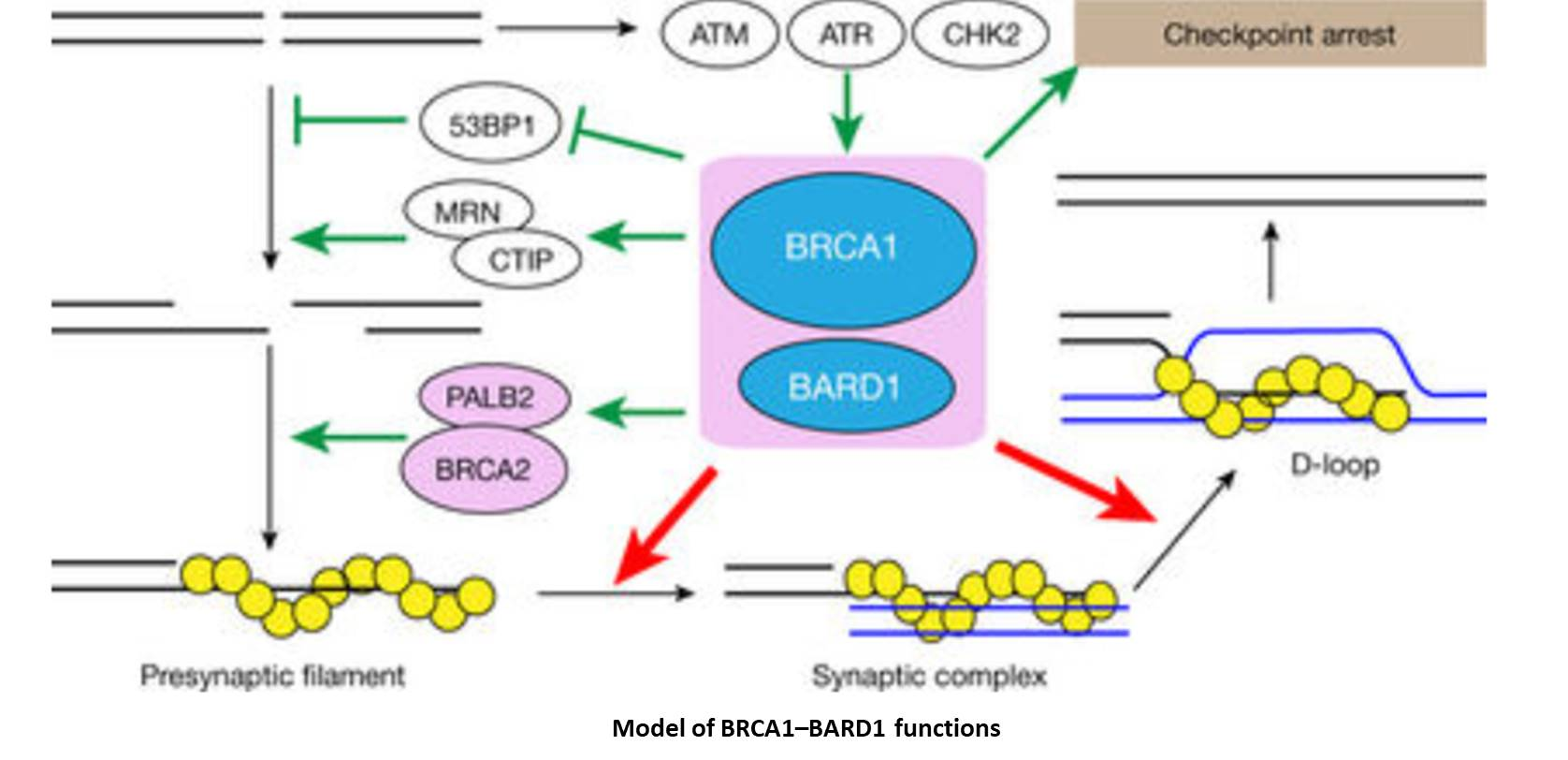 How BRCA1/2 mutations cause cancer?