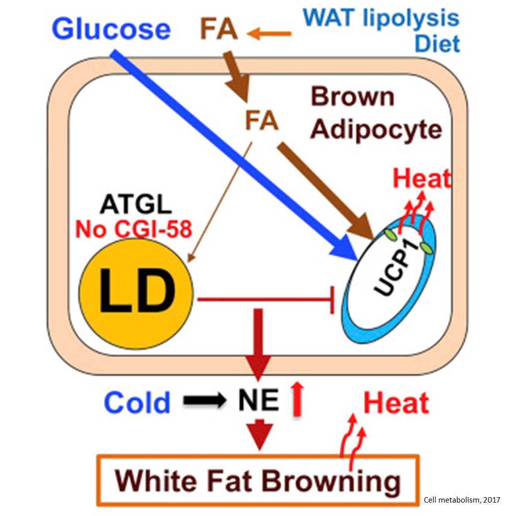 Mechanism of body temperature regulation by brown adipose tissue challenged!