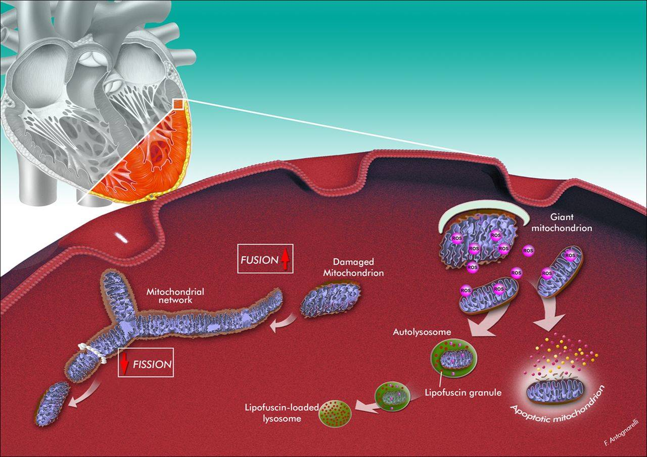 Mitochondrial DNA could predict risk for sudden cardiac death, heart disease