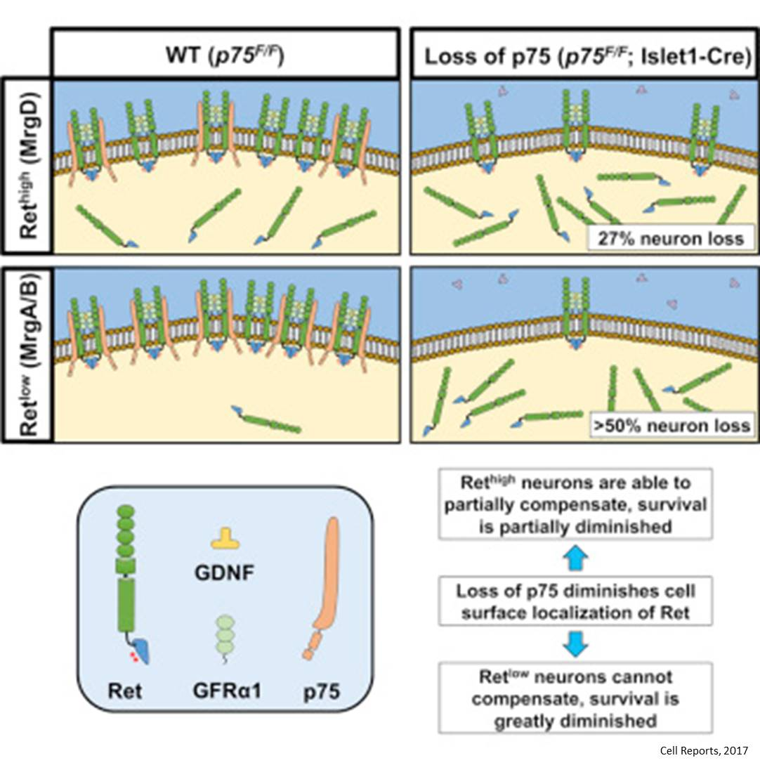 Survival of sensory neurons require protein p75