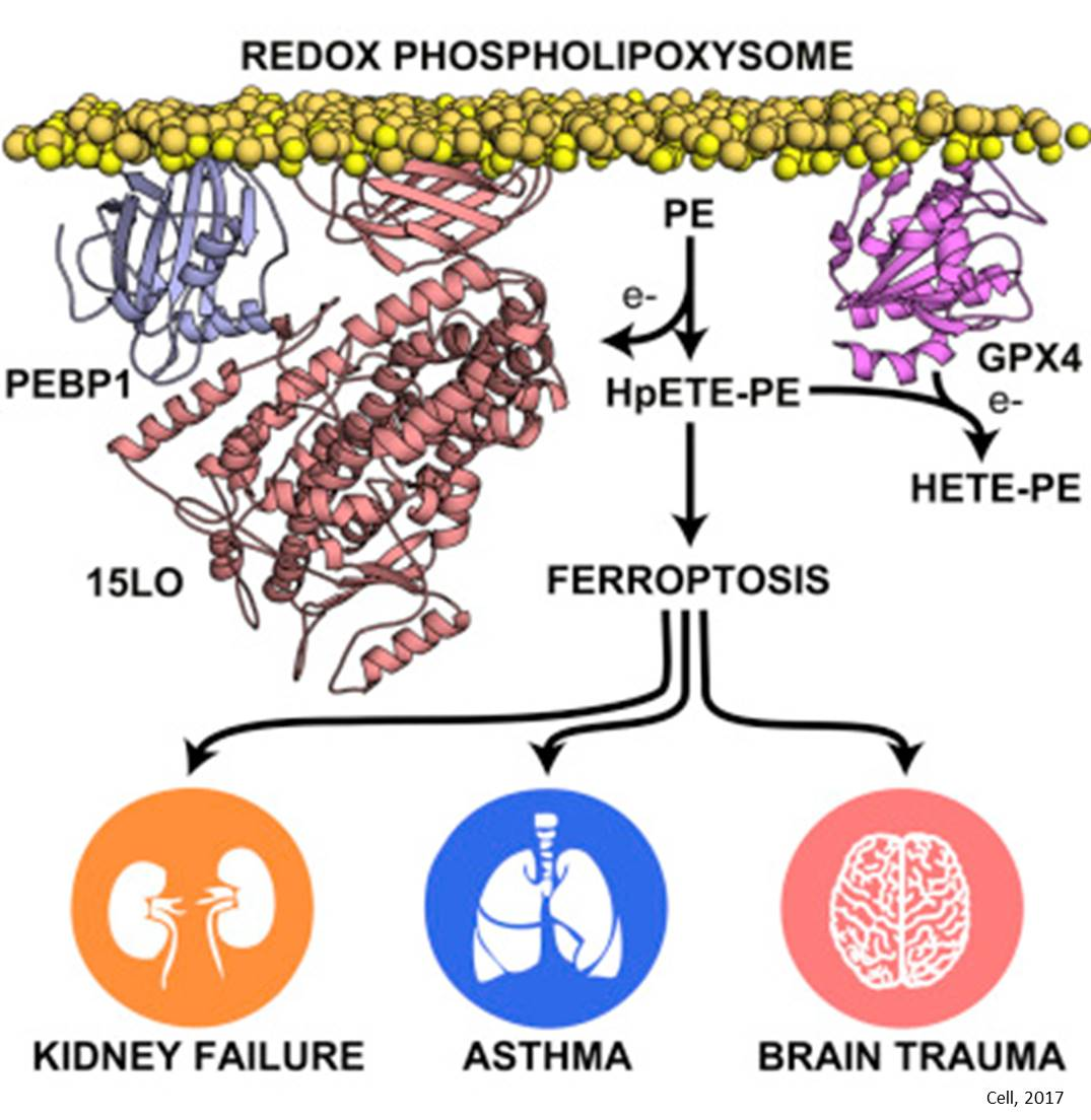 Regulator of ferroptosis identified!