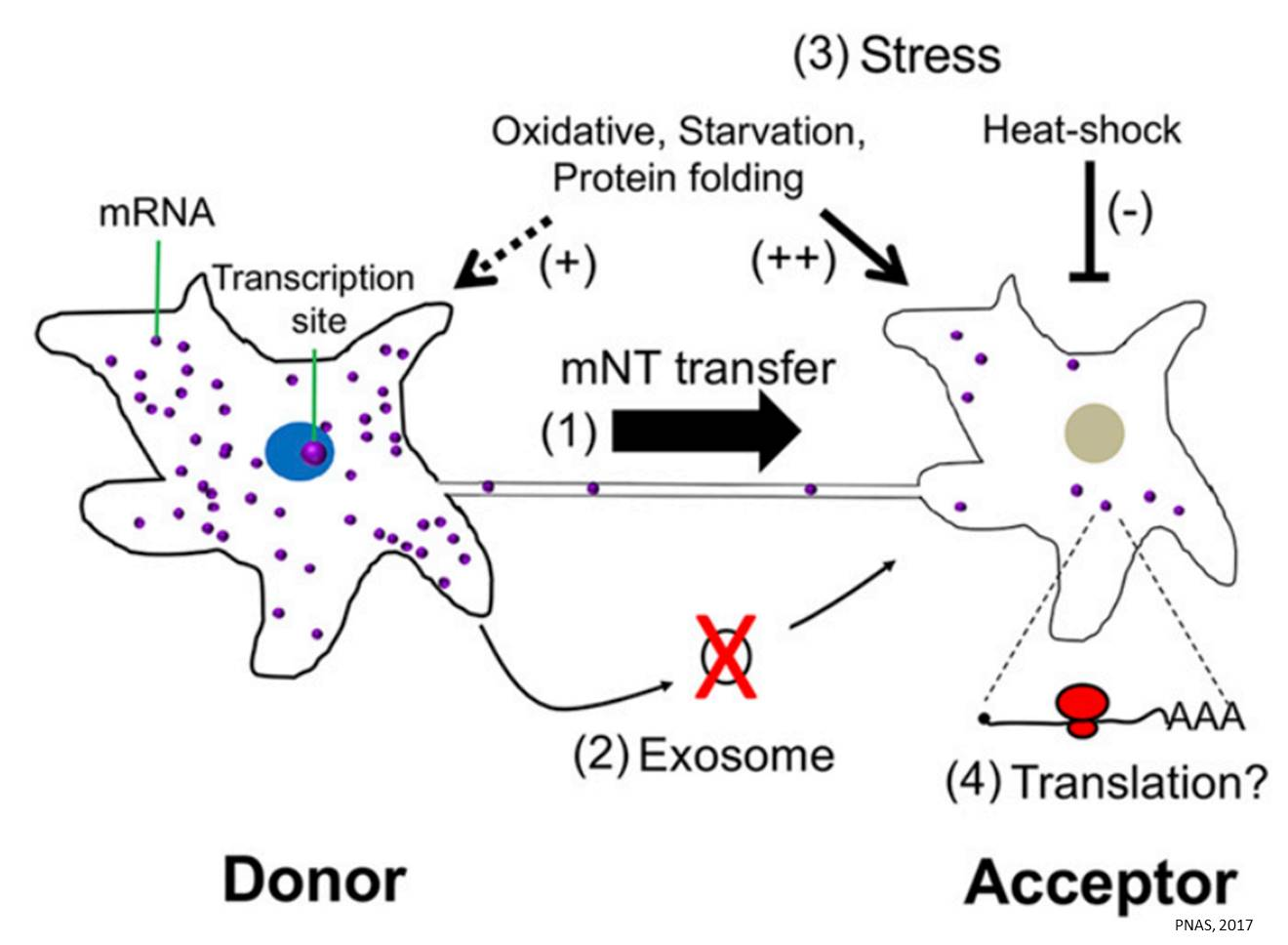Visualizing intercellular RNA transfer through membrane nanotubes