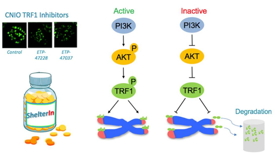 Novel way to target telomeres to cure cancer!