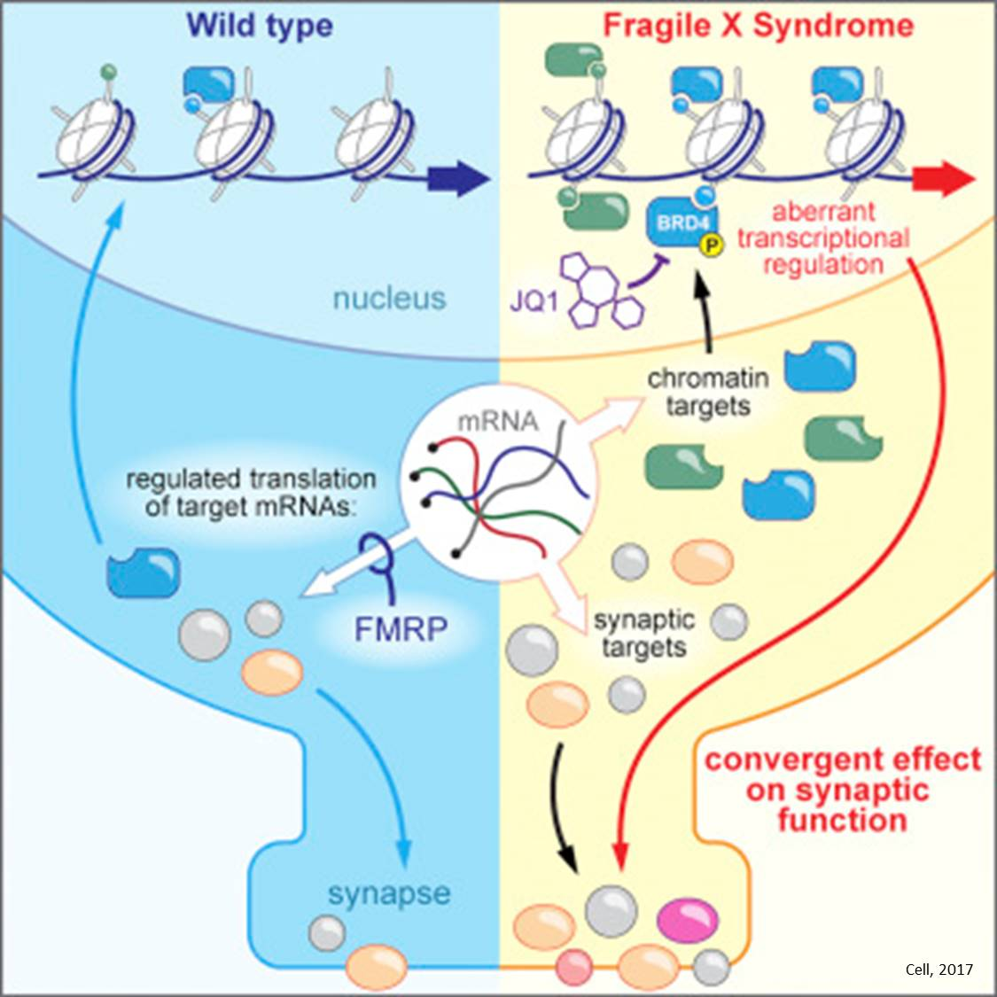 New targets for Fragile X Syndrome identified!