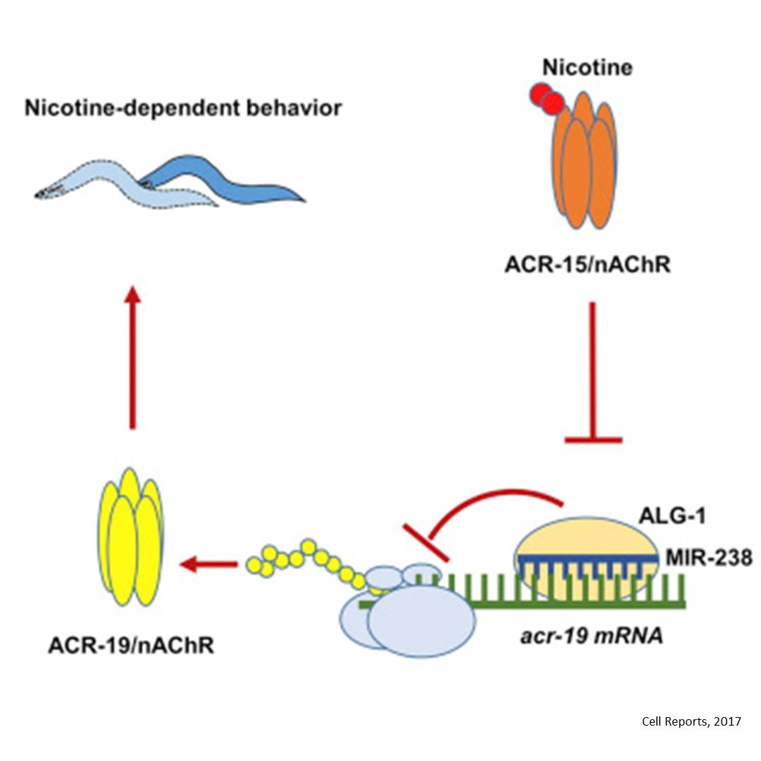MicroRNA role in nicotine dependence!