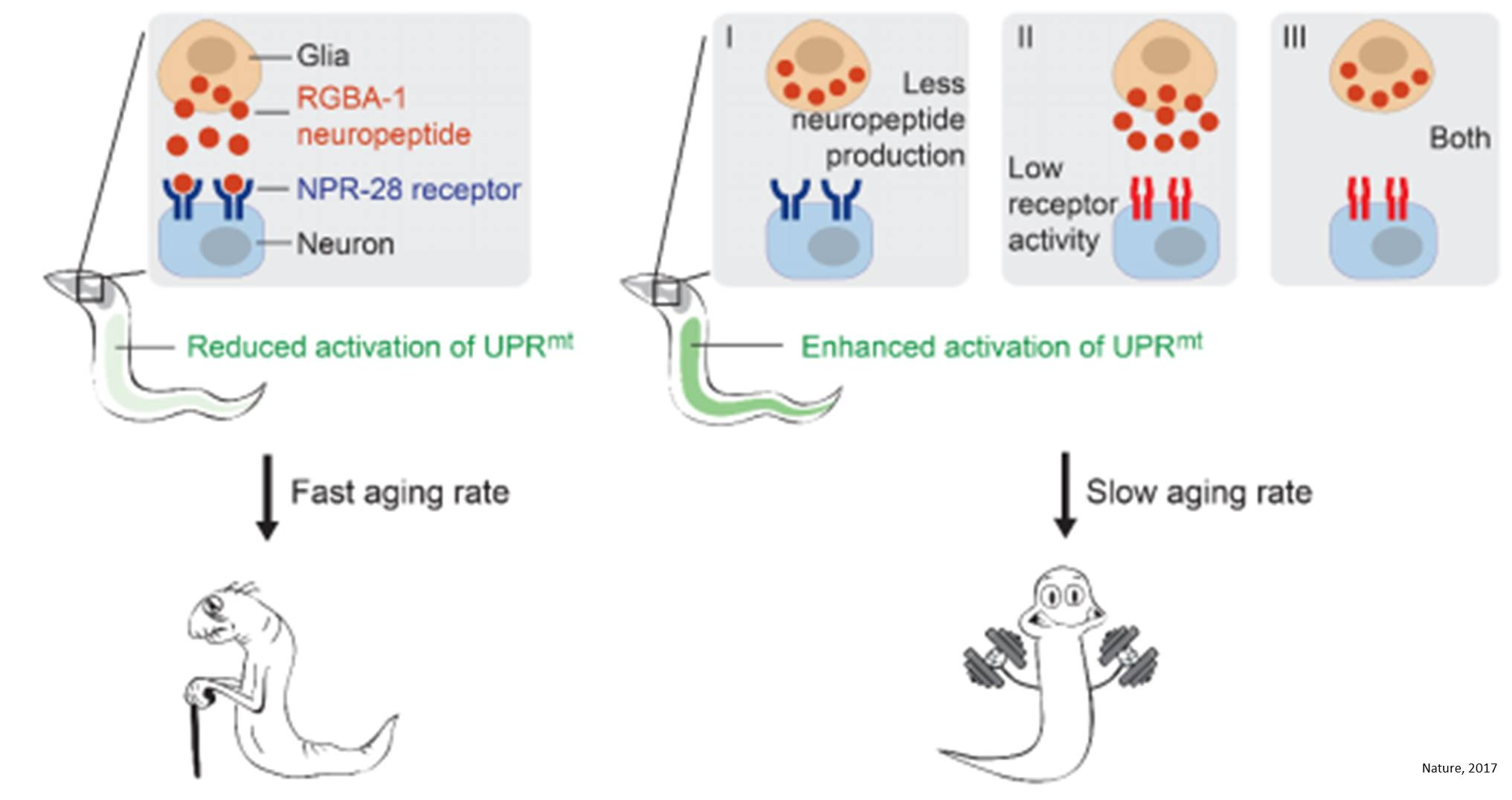 Genetic variation in glia-neuron signalling modulates ageing rate