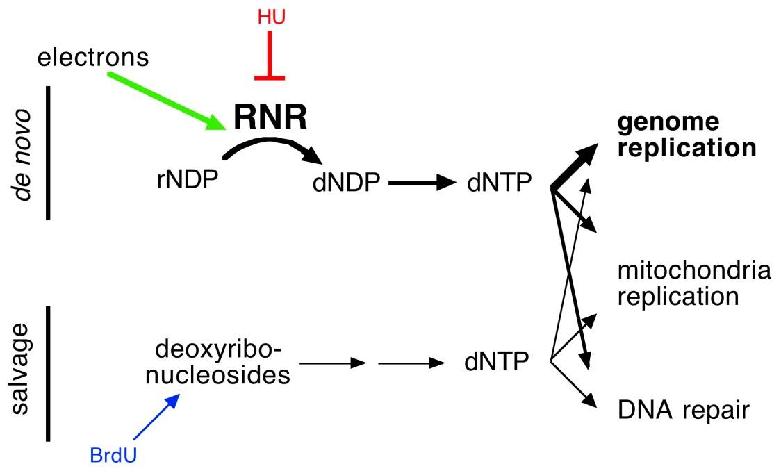 Redox sensing controls DNA replication!