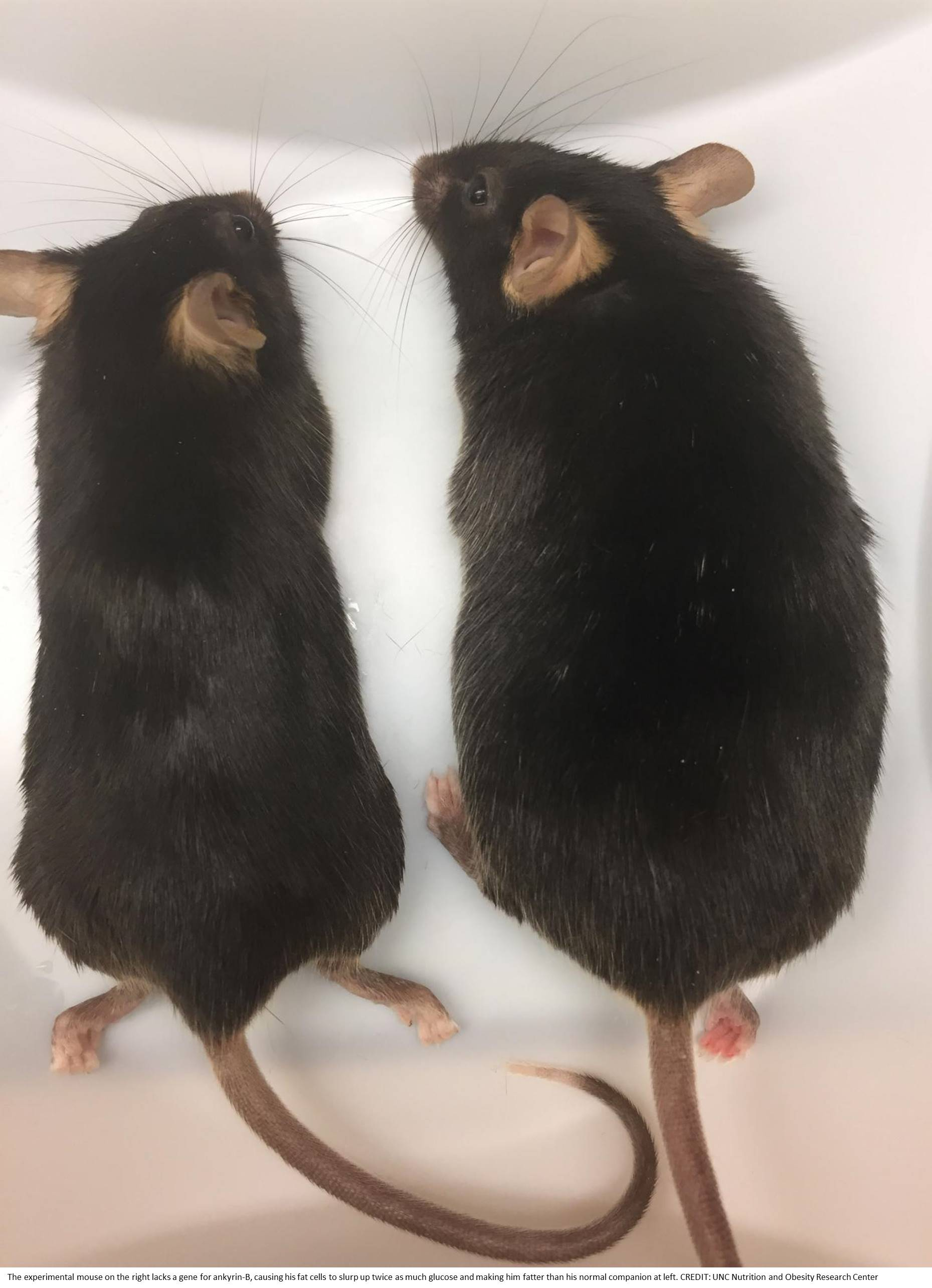 Gene mutation leads to fat storage and obesity!