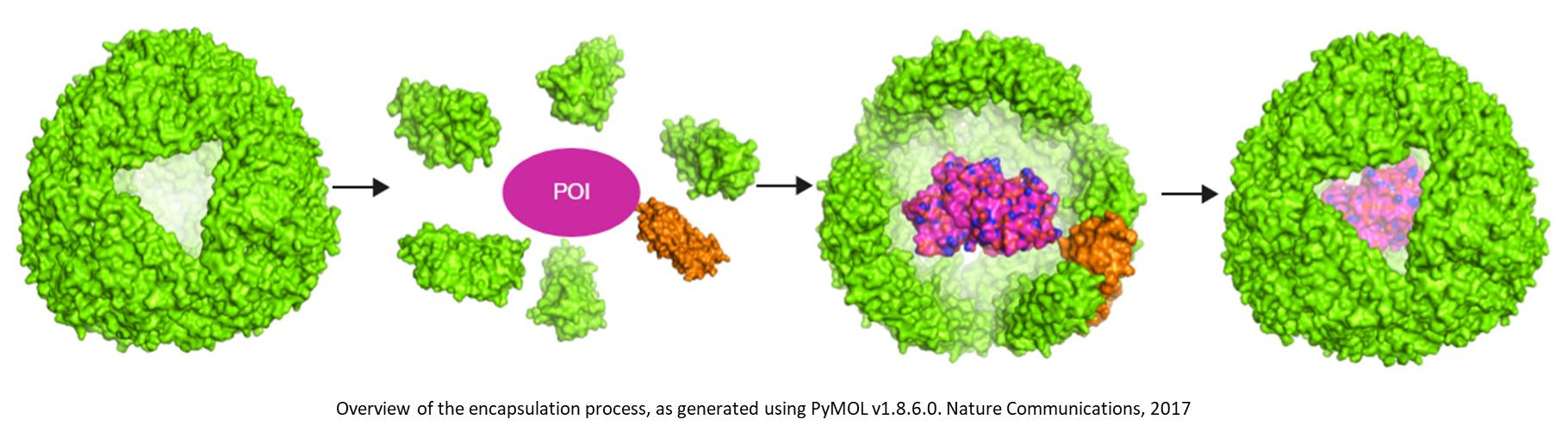 Folding a protein within a protein