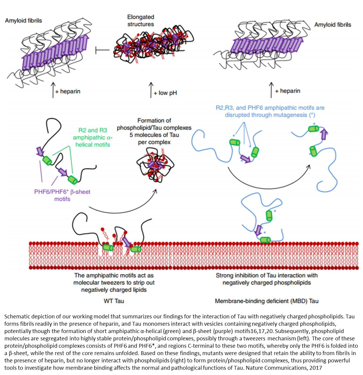 Alzheimer's Tau protein interaction with cell membranes to form toxic complexes