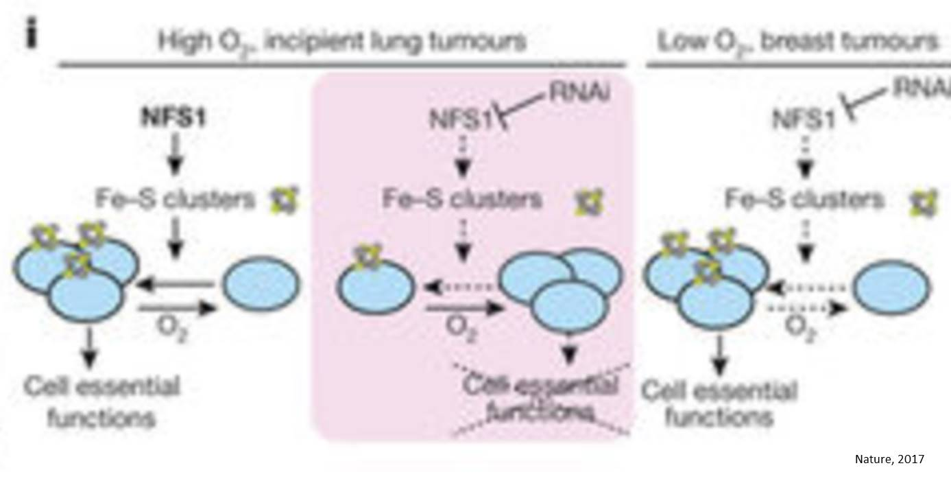 A protein that helps the lung tumors survive oxidative damage identified!