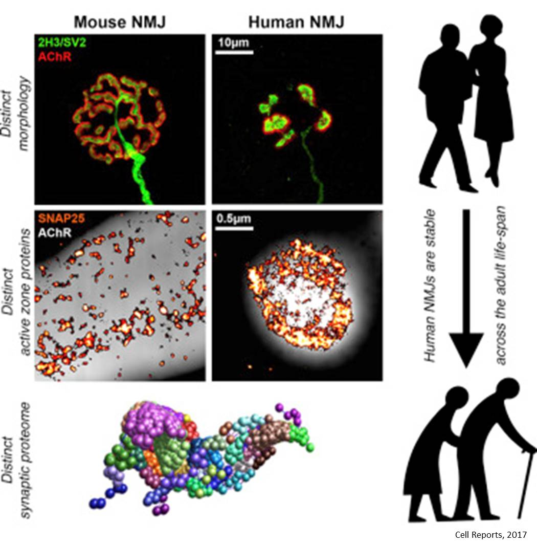 Human neuromuscular junctions differ from lab animals!
