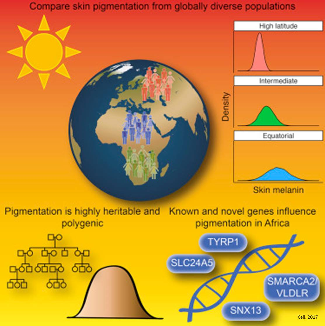 Skin pigmentation far more complex than previously known