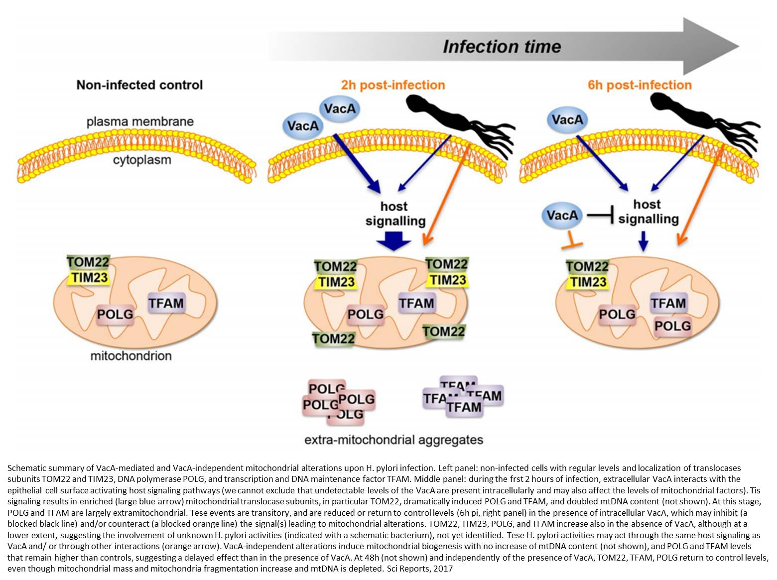 A new strategy used by Helicobacter pylori to target mitochondria