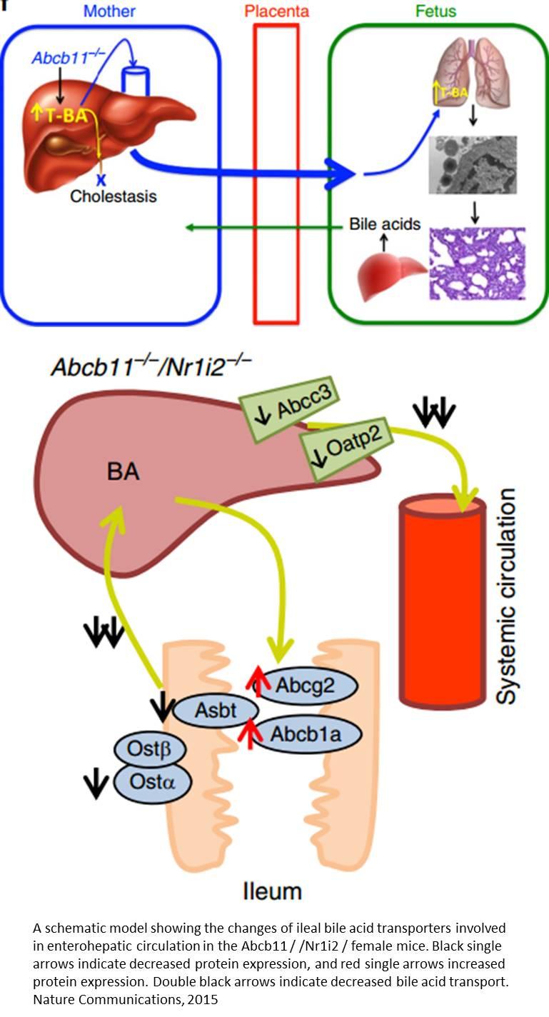Maternal bile acid transporter deficiency promotes neonatal demise