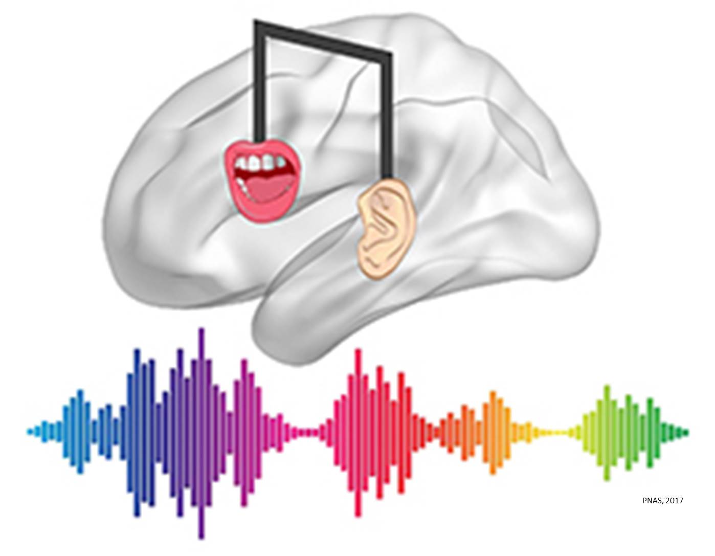 Musical training and speech processing