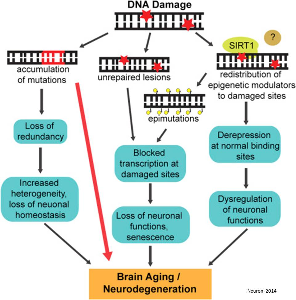 Aging and neurodegeneration are associated with increased mutations in single human neurons