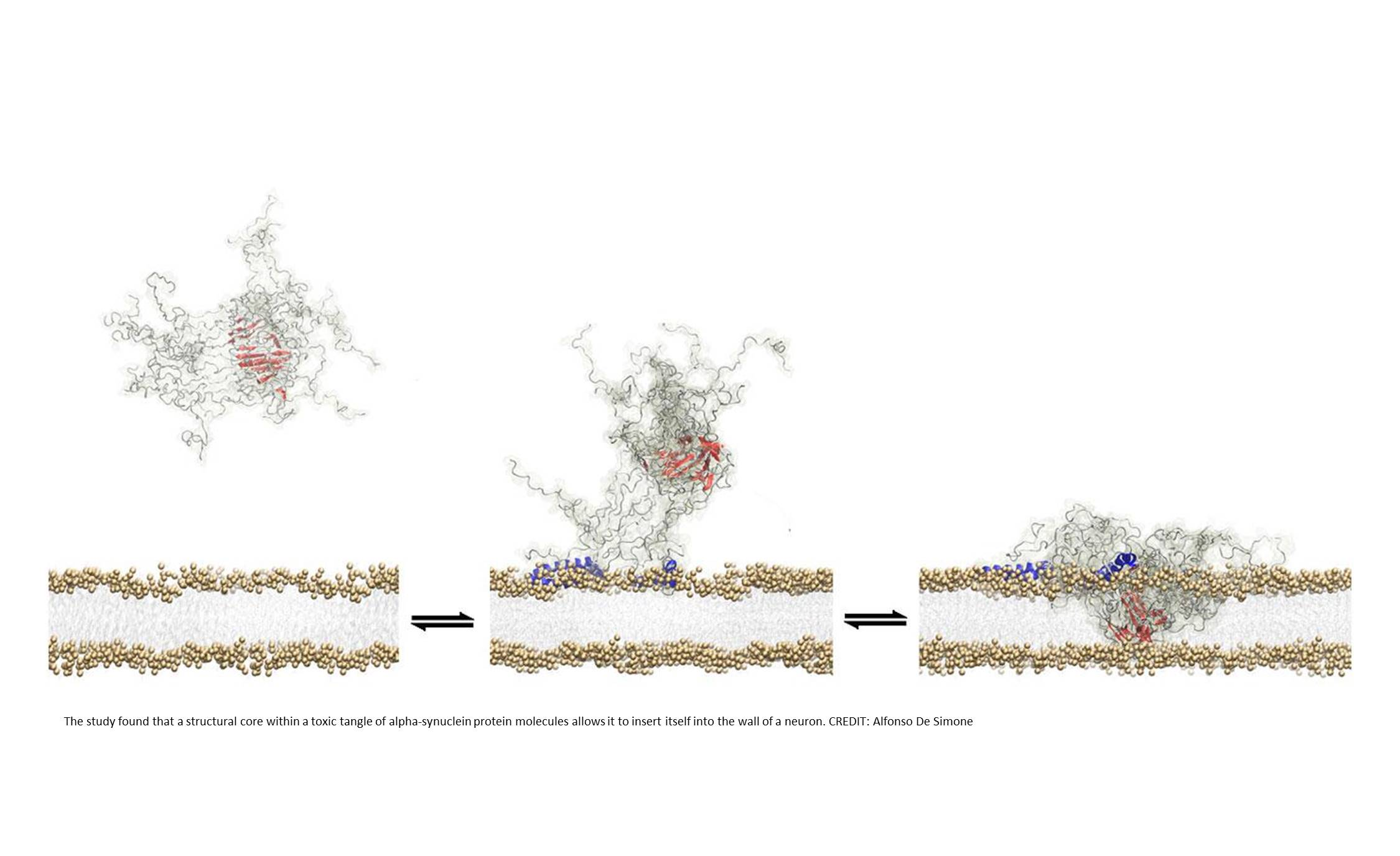 Visualizing membrane disruption by Parkinson's disease protein