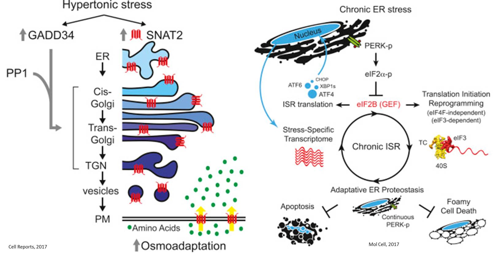 Cellular reprogramming during stress!