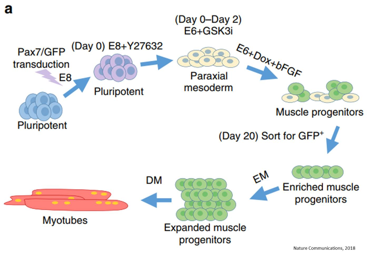 Functioning human muscle from skin cells