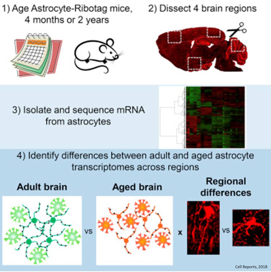 Developmental genes turn on in astrocytes during aging!