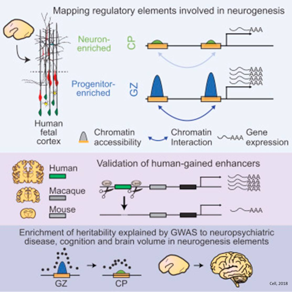 A person's future intellectual capabilities may be set in motion during neurogenesis