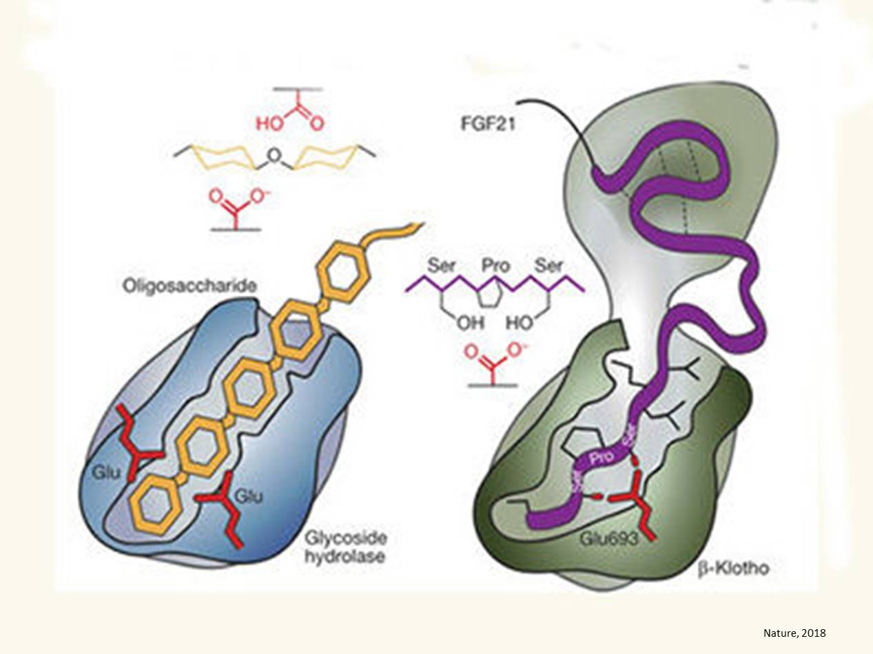 Longevity protein structure unraveled
