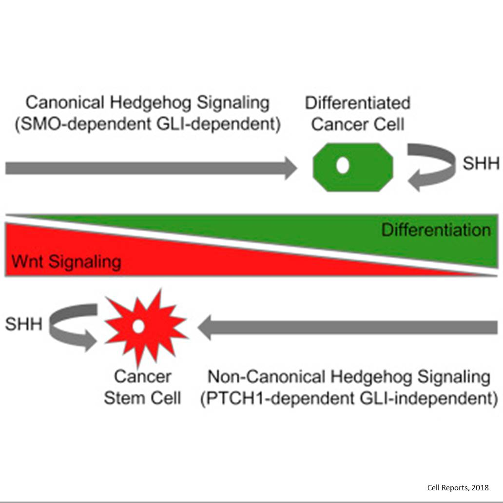 Hedgehog signaling proteins keep cancer stem cells alive