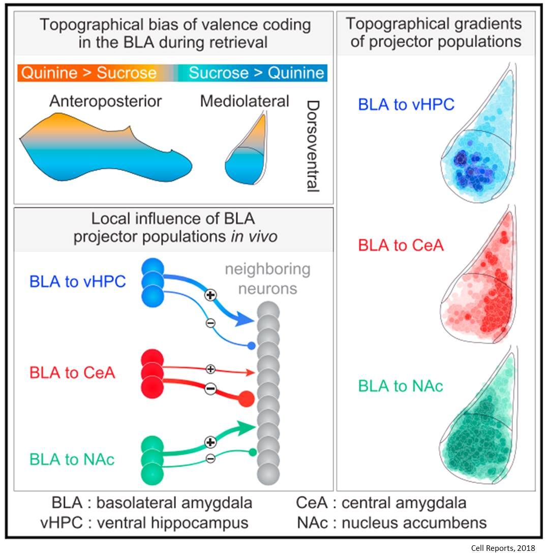 Good or bad feeling (valence) neurons and their connections mapped