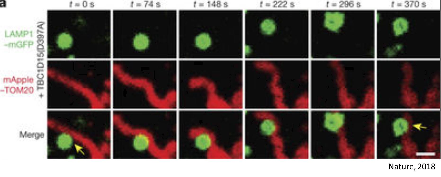 Lyosomes and mitochondria chat each other up in cell