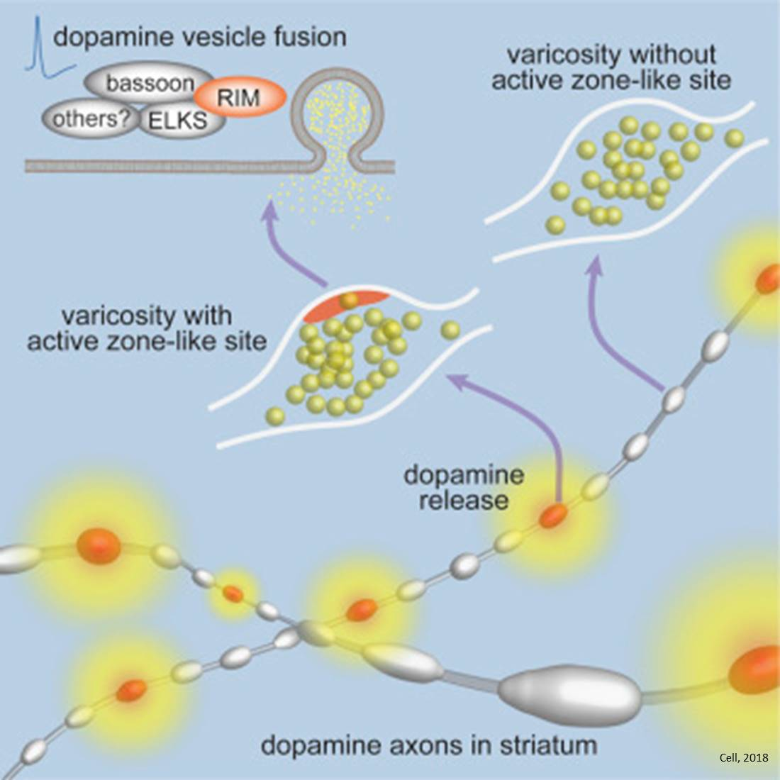 New mechanism for dopamine release