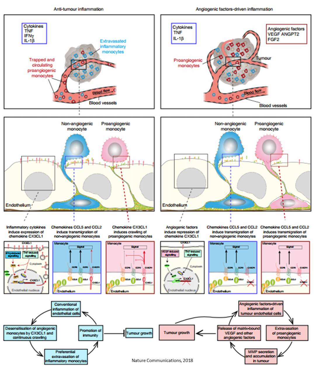 Mechanism of tumor monocyte recruitment for vascularization