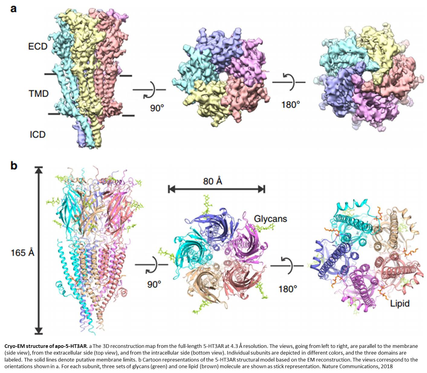 Cryo-EM structure of full length serotonin receptor