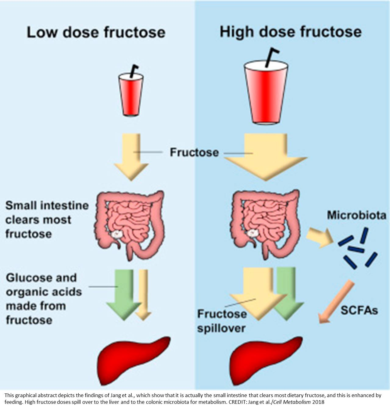 Its small intestine, not liver, clears dietary fructose