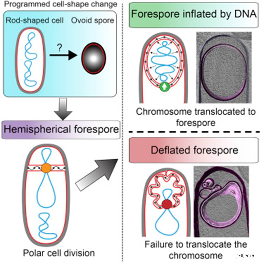 Surprising role for DNA in shaping the cells